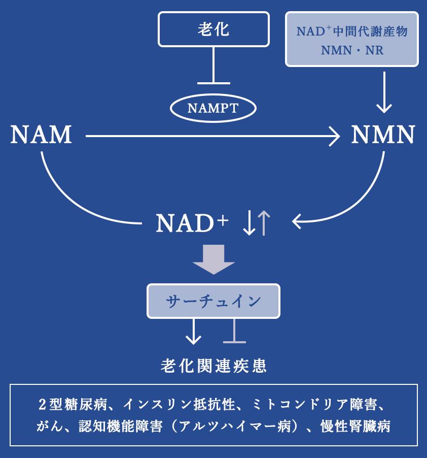NMNの働きの図